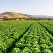 Stock Photo: Lettuce Field in Salinas Valley
