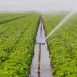 Stock Photo: Lettuce Field Irrigation