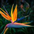 Stock Photo: Bird of Paradise Plant in Full Bloom