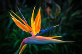 Bird of Paradise Plant in Full Bloom — Stock Photo