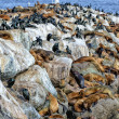Sea Lions and Breeding Brandt's Cormorants Share Space on Montererey Bay — Stock Photo #24911829