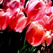 Tulips Swaying in the Breeze — Stock Video