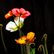 Stock Photo: Colored Poppies in Silhouette