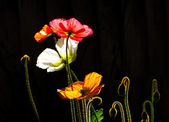 Colored Poppies in Silhouette — Stock Photo