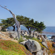 The Ghost Tree at 17 Mile Drive — Stock Photo