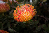 South African Leucadendron Bloom — Stock Photo