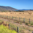 Stock Photo: Grazing Cattle Overlooking Pacfiic Ocean