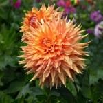 オレンジのダリア — ストック写真