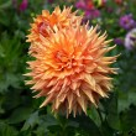 orange dahlie — Stockfoto