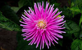 Vibrant Pink Dahlia Flower — Stock Photo