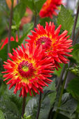 Brilliant Orange Dahlia — Stock Photo