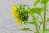 Single Sunflower — Stock Photo