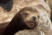Sleeping Brown Sea Lion — Stock Photo