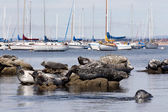 Grouping of Harbor Seals — Stock Photo