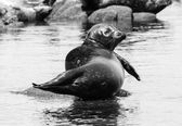 Harbor Seal in Black and White — Stock Photo