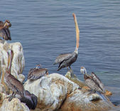 Brown Pelican Swallowing — Stock Photo