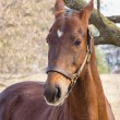 American Saddlebred Horse — Stock Photo