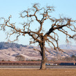 Gnarled Tall Lone Tree on Western Plain — Stock Photo #38667253