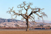 Gnarled Tall Lone Tree on the Western Plain — Stock Photo