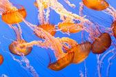 Black Sea Nettle — Stock Photo