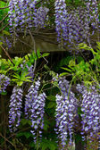 Flowering Wisteria Vertical Image — Stock Photo