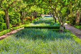 Blooming Flower Beds of Forget-Me-Nots — Stock Photo