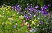 Spring fowerbed of Yellow Columbine and Purple Iris — Stock Photo
