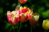 Grouping of Frilly Tulips  — Stock Photo