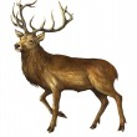 The deer — Stock Photo