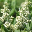 Stock Photo: White lilac