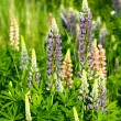 Lupinus polyphyllus - Stock Photo