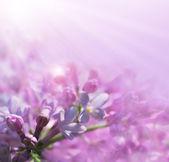 ピンクのライラック — ストック写真