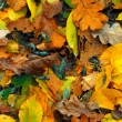 Autumn leaves close up  — Foto de Stock