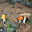 Stock Photo: Poisonous mushrooms