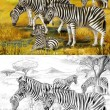 Stock Photo: Safari - zebras - coloring page - illustration for children