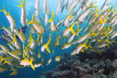 Reef Fish and Female Diver, Great Barrier Reef, Coral Sea, South Pacific Ocean, Australia — Foto de Stock