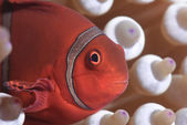 Clown Fish or Nemo, Great Barrier Reef, Coral Sea, South Pacific Ocean, Queensland, Australia — Stock Photo