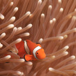 Ocellaris Clownfish; Clownfish or False PerculClownfish Amphiprion ocellaris — Stock Photo #12736539
