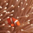 Royalty-Free Stock Photo: Ocellaris Clownfish; Clownfish or False Percula Clownfish Amphiprion ocellaris