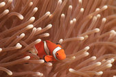 Ocellaris Clownfish; Anemoonvis of valse Percula Clownfish Amphiprion ocellaris — Stockfoto