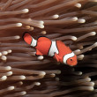 False Clownfish Amphiprion ocellaris in Anemone — Stock Photo #12806099