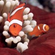 False Clownfish or Nemo (Amphiprion ocellaris) — Stock Photo