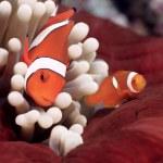 False Clownfish or Nemo (Amphiprion ocellaris) — Stock Photo