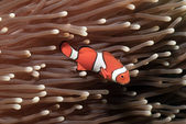 Valse anemoonvis amphiprion ocellaris in een anemone — Stockfoto