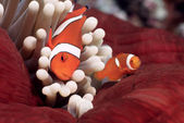 False Clownfish or Nemo (Amphiprion ocellaris) — Foto Stock