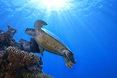 Green Sea Turtle Chelonia mydas — Stock Photo