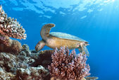 Green Sea Turtle Chelonia mydas — Stock Photo