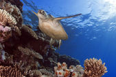 Green Sea Turtle Chelonia mydas, Great Barrier Reef, Coral Sea, South Pacific Ocean, Queensland, Australia — Foto de Stock