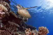Green Sea Turtle Chelonia mydas, Great Barrier Reef, Coral Sea, South Pacific Ocean, Queensland, Australia — Stock Photo