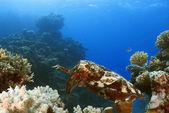 Seiches sepia latimanus, queensland, australie, barr grand récif nationalpark, mer de corail, océan pacifique sud — Photo
